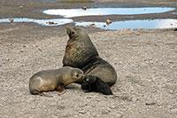 Eine Seebärenmutter riecht an ihrem Jungen. Foto: David Vaynor Evans, British Antarctic Survey