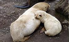Seebären