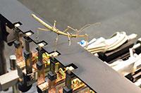 Welche Kräfte üben die Beine einer Stabheuschrecke aus, und wie bewegt sich das Tier? Das messen CITEC-Forscher mit seitlichen Trittsteinen (weiß) und reflektierenden Markern. Foto: CITEC/Universität Bielefeld