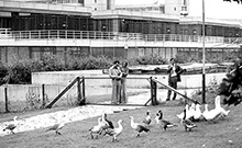 Year of foundation 1976: outdoor pen with geese
