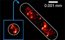 Aufnahme der Verteilung der Erbinformation in einer Escherichia coli-Bakterienzelle: Biele-felder Physikern der Universität Bielefeld ist es nun als ersten gelungen, diese Verteilung mit höchster optischer Auflösung aufzunehmen, ohne die Zelle auf einem Glassubstrat zu verankern. Foto: Universität Bielefeld