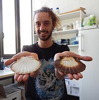 Der Verhaltensökologe David Vendrami von der Universität Bielefeld untersucht, wie sich Populationen der Jakobsmuschel unterscheiden. Foto: Universität Bielefeld