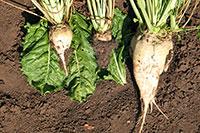 Von Rizomania befallene Zuckerrüben (links und Mitte) und ein gesundes Exemplar im Vergleich.