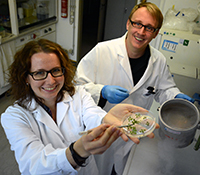 The researchers harvested leaves from a thale cress plant over a three-day period to determine the biorhythm. Photo: Bielefeld University