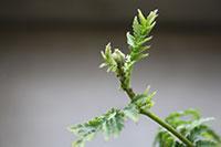 Blattlausbefall des Knospenstiels von Rainfarn. Foto: Universität Bielefeld/ Jana Stall-mann