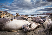 Only a few animals ensured the survival of the northern elephant seal. Although numbers have recovered, today's populations are genetically depleted. Photo: Bielefeld University/Martin Stoffel