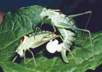 Caught in the act: The spermatophores of male bushcrickets can attain up to 40 per cent of their bodyweight. The actual sperm transfer comes later – the Bielefeld researchers' findings suggest that when that happens is something the male determines. Photo: Klaus Reinhold