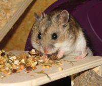 Ausgangspunkt für die Genomsequenzierung war der Chinesische Hamster (Bild). Foto: Kerstin Molthagen