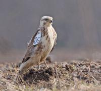 Dank Hinweisen von Hobby-Vogelkundlern konnten Bielefelder Biologen beweisen, welche Gene bestimmen, wann junge Bussarde ihr elterliches Territorium verlassen. Foto: Bernhard Glüer