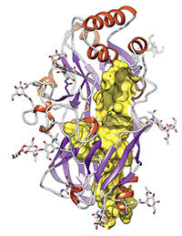 The Bielefeld chemist Michael Schwake and his colleagues have discovered a new protein fold. At its head (the red helices), this protein can bind enzymes and viruses. The tunnel in the protein structure is coloured yellow. Illustration: Nature