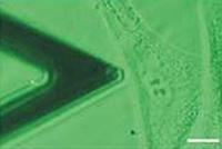 Lichtmikroskopie: Der mechanische Nanosensor (rechts im Bild) wird an eine Zelle geführt. Der Zellkern wird kontrolliert eingedrückt und damit seine Elastizität gemessen. Die Breite des Bildes entspricht ungefähr dem Durchmesser eines menschlichen Haares (50 Mikrometer). Foto: Universität Bielefeld