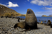 Antarctic fur seal. Photo: Oliver Krüger