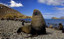 Forscher aus Bielefeld und Cambridge untersuchten in einer Studie das Leben und Überleben von Seebären in Südgeorgien.
