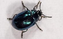 Beetle Copyright: Bielefeld University
